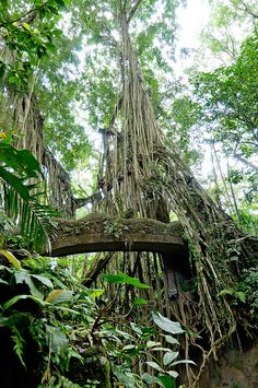 Bridge between banyan trees in Sacred Monkey Forest, Indonesia (by Cait Sith).