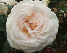 Auckland Metro Rose
