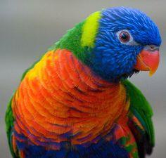 Gorgeous rainbow parrot wondering what's for dinner. Tropical Birds, Exotic Birds, Colorful Birds, Pretty Birds, Beautiful Birds, Beautiful Pictures, All Birds, Love Birds, Australian Parrots