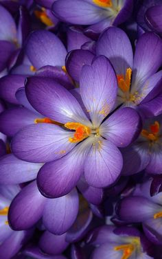 Autumn Purple Crocus Flowers