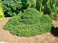 Picea abies 'Pygmaea' Landscape Design, Garden Design, Picea Abies, Winter Garden, Wow Products, Amazing Gardens, Dwarf, Outdoor Decor, Plants