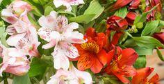 KW 23 langstielig: Tropic Beauty! 20 Inkalilien für ihre Bodenvase