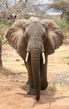 Lake Manyara, Tanzania: African Elephant by TuAnh Nguyen via Flickr.