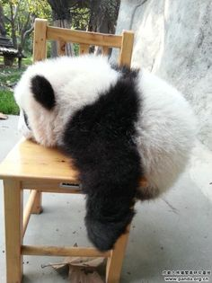 "Panda: ""Will I be able to make it onto the chair?!"""