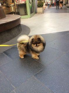 Pomeranian #Pomeranian #DogCutest