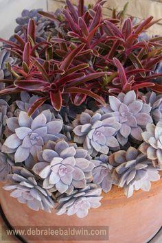 "graptopetalums and bromelias  FB"" SUCULENT CONTAINER GARDENS"""