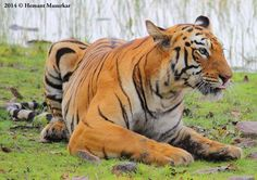 """""""Maya"""" in a different Mood... - Wildlife Photographer Community Stunning Image of Tigress Maya, Shared by wildlife photographer Hemant Masurkar on http://photos.wildfact.com , a website made for wildlife photographers only.  Click to view in full mode, Join the community and follow Hemant  http://photos.wildfact.com/image/393/maya-in-a-different-mood  #Wildlife #WildlifePhotography #Photography #Tiger"""