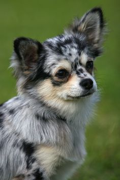 Now that's the cutest chihuahua I've ever seen!!!  Chihuahua. Merle is a controversial color for the breed.  (Looks like there was a blue merle Sheltie in his family tree OR???)