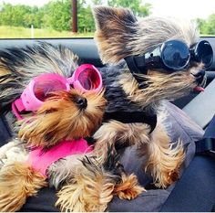 Yorkies love car rides!