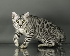 """Show your support for TICA Bengal Cat Breed Section by voting for Silverstorm Ottos Legacy of Capstone """"Asa"""" in the 2018 TICA Beautiful Bengal Cat Contest"""
