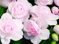 Double Impatiens 'Silhouette Appleblossom'