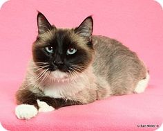 Las Vegas, NV - Balinese. Meet Karmen a Cat for Adoption.