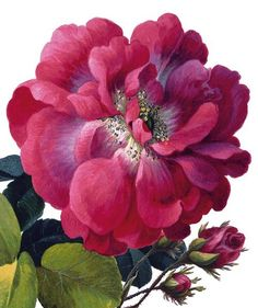 Moss rose. From the Archivist Press, no artist credit available