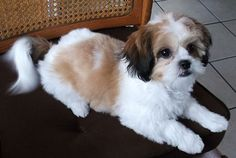 The designer breed I want.  Half Bichon Frise and half Shihtzu.  It is called a Shichon.
