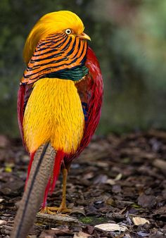 Golden Pheasant Photograph by Greg Nyquist