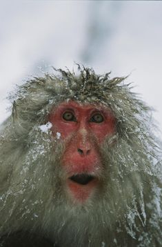 ✭ A Japanese macaque, or snow monkey, with ice tipped fur