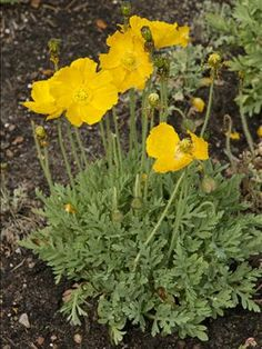 Walters Gardens, Inc. Papaver Summer Breeze, deer & rabbit resistant, attracts hummingbirds, long bloom time, zones 3-8