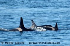 """""""The Cookies"""": lt to rt, J34 Doublestuf, J38 Cookie, and their mom J22 Oreo Photo by Monika Wieland"""