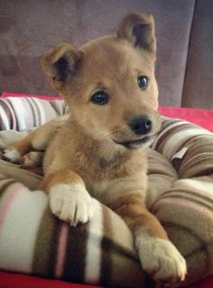 Marla the Shiba Inu Mix -- Puppy Breed: Shiba Inu / Australian Kelpie Puppy Care, Pet Puppy, Dog Cat, Puppy Mix, West Highland Terrier, Cute Dogs And Puppies, I Love Dogs, Mixed Breed Puppies, Doggies