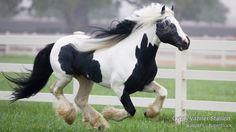 Today - Gypsy Vanner Stallion