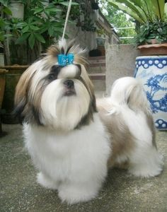 next time my puppy gets groomed I want him to look JUST like this! Bam Bam will look soo cute.