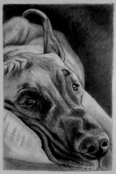 """The Resting #GreatDane"", hand drawn graphite pencil sketch by #pet portrait artist Genevieve Schlueter. visit http://www.gensart.net to commission a piece for you or a loved one."
