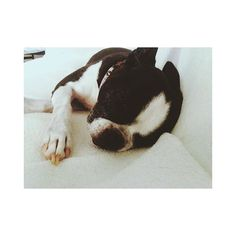 💤💤💤 #bostonterrier #dog #dogstagram #angel #cute #sleepy #snaptime #holiday #hund #süß #schlafzeit #ボストンテリア #愛犬 #黒白 #天使 #人は #なぜ と立ち止まらない? #物事には意味がある #身体メンテナンス してこよ笑