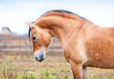 Belarussian harness horse