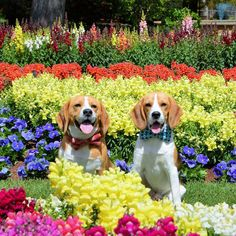 """""""Spring has arrived! Bundy and Baxter loving the flowers and weather!"""
