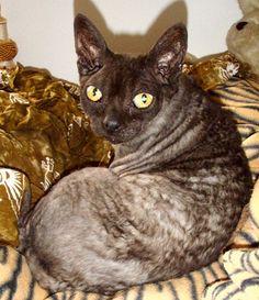 My gorgeous Devon Rex Cat Trent.