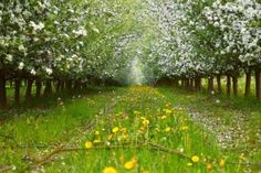 View of young apple orchard with flowers, evening, spring, Saarland / Germany Stock Photo