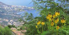 Senna didymobotrya above Funchal, Madeira
