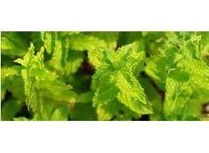 Mountain Rose Herbs: Peppermint Seeds