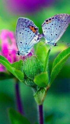 Mariposas celestes