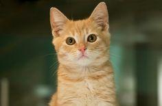 Dimitri a Kitten for Adoption