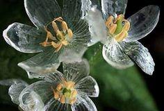Diphylleria Grayi - Skeleton Flower (petals turn clear as glass when wet) Skeleton Flower, Beauty Photos, Flower Petals, Daisy, Nature, Plants, Joyful, Sunflowers, Gardening