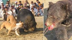 Stop bear baiting in Pakistan! | YouSignAnimals.org A plague of barbaric human garbage who have to inflict abhorrent cruelty onto animals so they may have their entertainment.