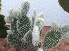Opuntia microdasys var. albispina - Angel Wings is a freely clustering cactus…