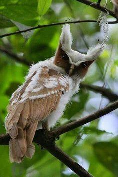 """El búho corniblanco (Lophostrix cristata), también conocido como búho cuerno blanco.Es un búho de tamaño mediano a grande que habita los bosques de América Central y América del Sur.  Alcanza un tamaño de 40 cm y se distingue por sus largas """"cejas"""" blancas que se extienden desde el centro de la cara hasta los penachos de la """"orjeas"""".  Es nativo de Belice, Bolivia, Brasil, Colombia, Costa Rica, Ecuador, El Salvador, Guyana Francesa, Guatemala, Guyana, Honduras, México, Nicaragua, Panamá, Perú"""