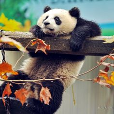 Panda Bear Hugging a Branch of Tree - Tap to see more cute animal iPhone, iPad & Android Wallpapers! - @mobile9