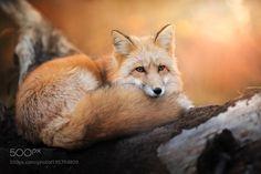 Autumn fox by IzaLysonArts #animals #animal #pet #pets #animales #animallovers #photooftheday #amazing #picoftheday