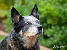 Australian Cattle Dog by ~PanGrizabella on deviantART