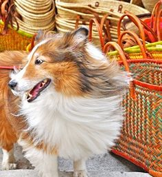 Sheltie in Provence, France Dog Puppy Hound Dogs Hunting Puppies Shetland Sheepdog Pet Dogs, Dog Cat, Pets, Doggies, I Love Dogs, Puppy Love, Cute Puppies, Dogs And Puppies, Scottish Animals