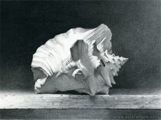 Still life charcoal drawing of a sea shell by Ester Wilson - http://www.esterwilson.com