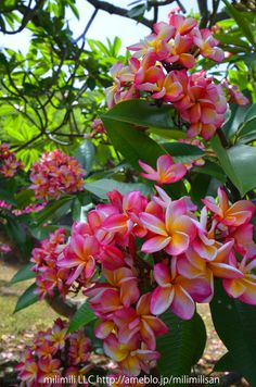 exotic flowers by post Flowers By Post, All Flowers, Exotic Flowers, Tropical Flowers, Beautiful Flowers, Plumeria Flowers, Hawaiian Flowers, Hibiscus, Flower Pot Design