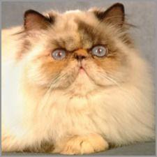 Tortie Point Himalayan Cat | Himalayan Cats Online.com - Himalayan Colors article