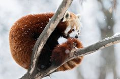 The Red Pandas at Zoo Vienna Schönbrunn in Austria also enjoy the cold weather and do not need any indoor facilities these days. They prefer to sleep on one of the snow-covered trees.  Photo: Daniel Zupanc - Tiergarten Schönbrunn #redpanda
