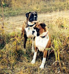 Boxer dogs Henley and Reo 2013