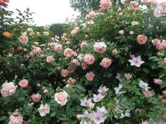 'Colette ' Rose Photo
