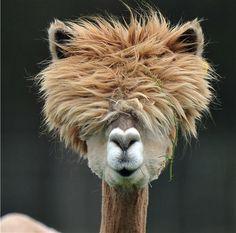 Alpaka - ein Tier, von dem man sich nicht nur Wolle, sondern auch Inspiration holen kann :)